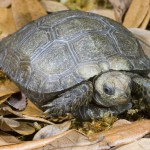 Manouria emys Burmese mountain tortoise copy